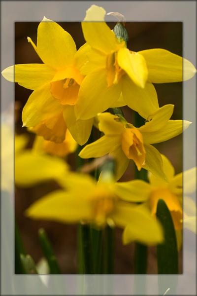 daffodil by ABiggs