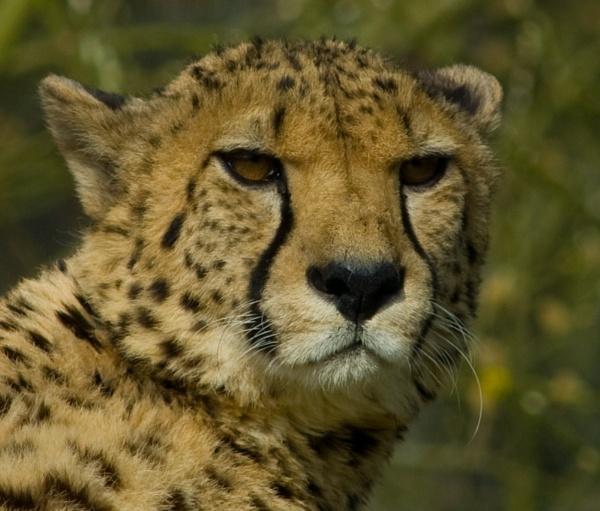 Cheetah by sneal