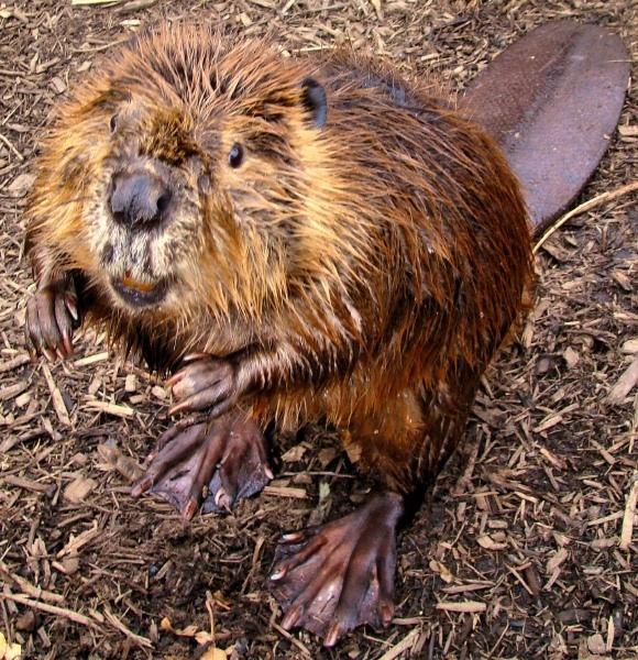 beaver by WaltP