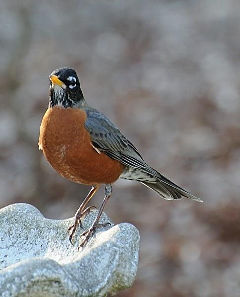 Robin by WaltP