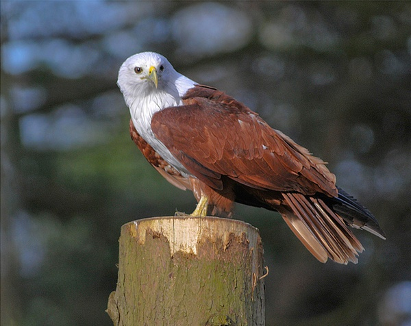 Red Backed Kite by pluckyfilly