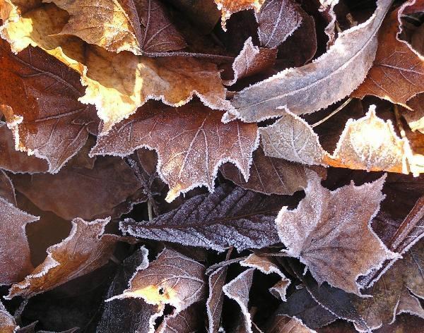 Frosty leaves by Mintakax