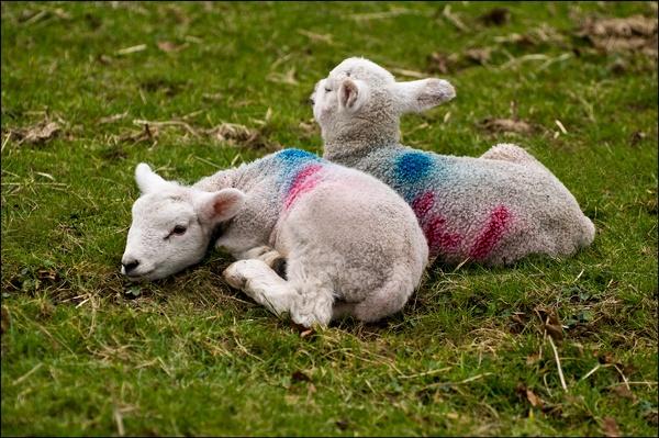 spring lambs by ducatifogarty