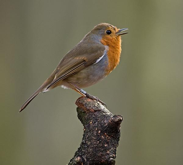 Spring Robin by Jaff