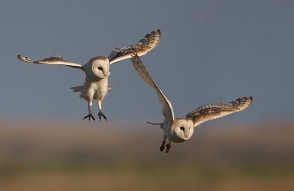 Barn Owls by nigelpye