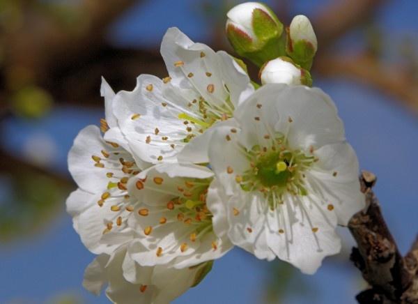 Cherry Blossum by jackitec