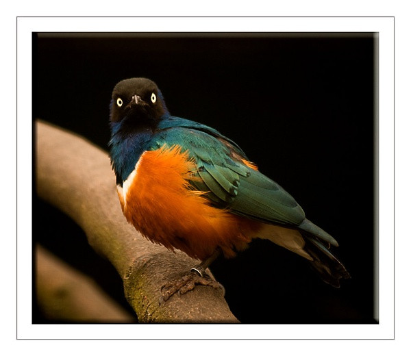 Superb Starling by SoulOfNature