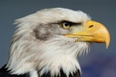 Bald Eagle by steve_eb