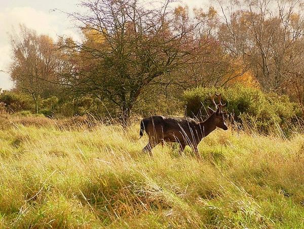 Deer by Rhodes6949