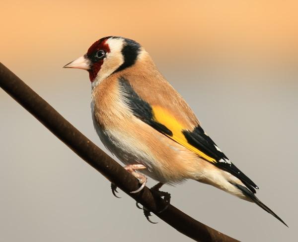 goldfinch by shelldud