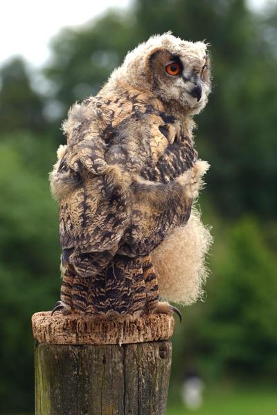 Downey Owl by SteveMoulding