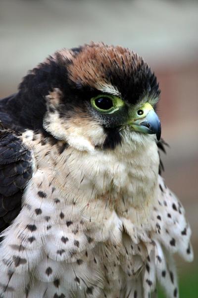 Lanner Falcon by SteveMoulding