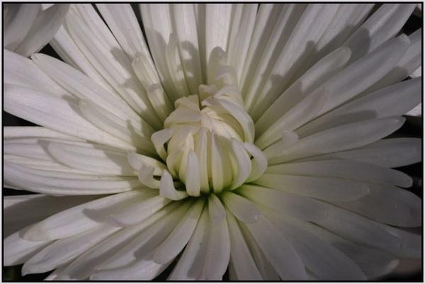 Iced Chrysanthemum by rikewoo