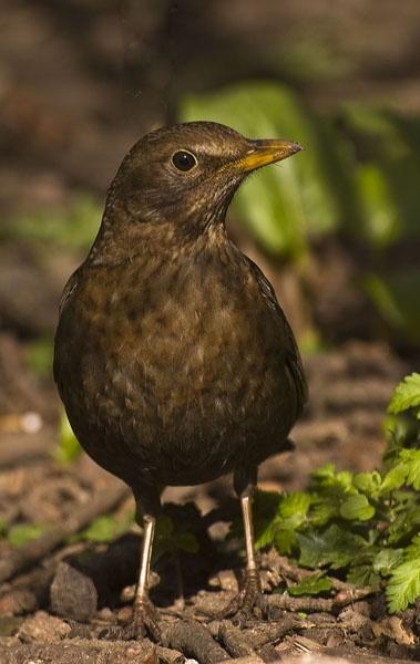 Mrs Blackbird by Myles2008