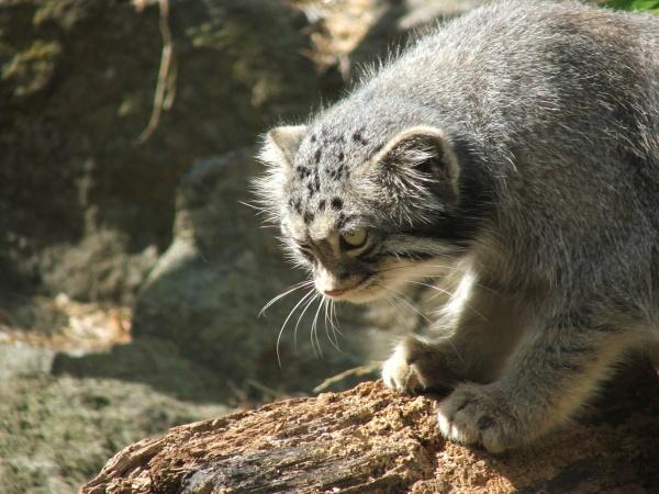 Pallas cat 2 by frank61