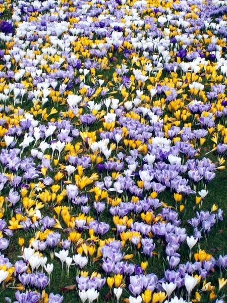 crocus of spring by simon73