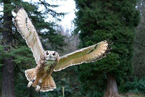 owl flight by digitalpic