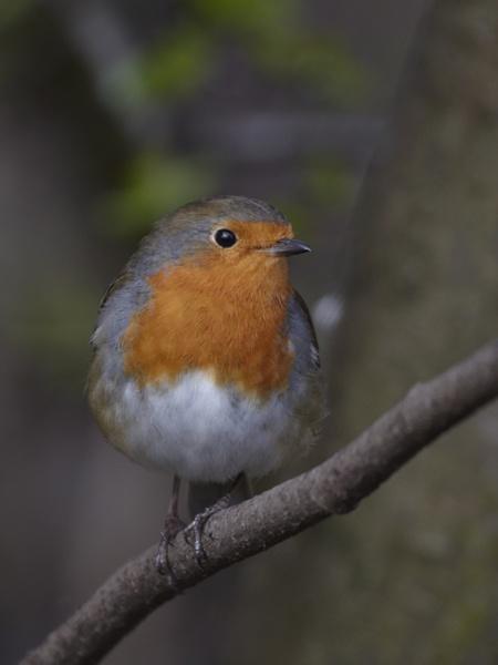 Christina\'s Robin by dannyg