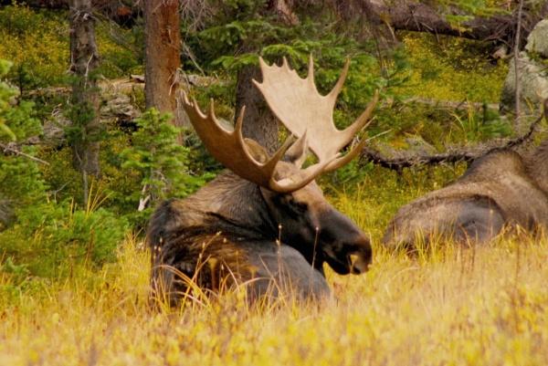 Bull Moose by StuartDavie