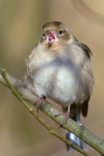 Female Chaffinch by davewilliamson