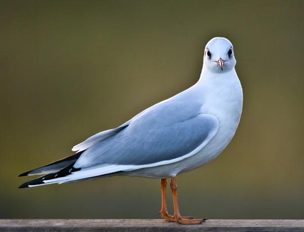 Blackheaded Gull by davewilliamson