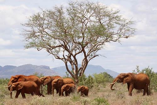 Elephants Galore by Dazbo