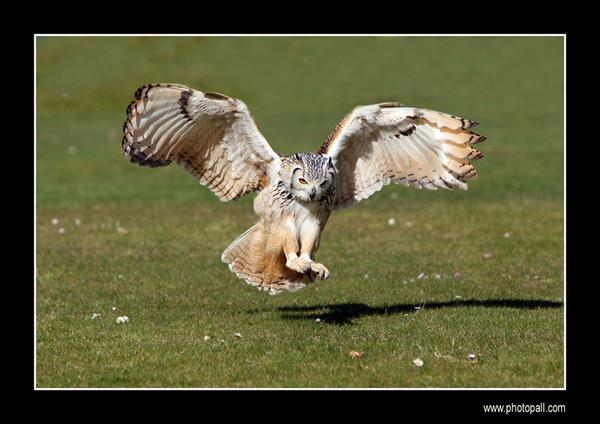 Bangal Owl by jamil