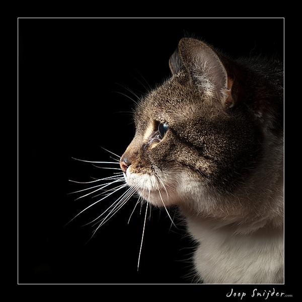 Cat in spotlight by Joop_Snijder