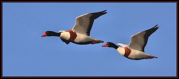 Flying Ducks by mjstead