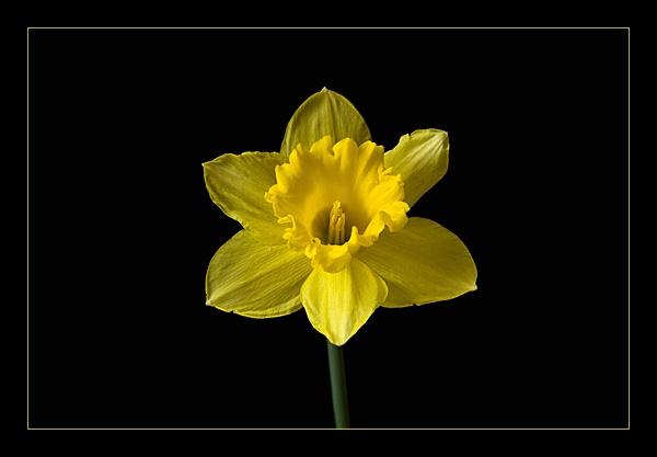 Daffodil by M0TFT