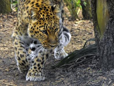 Amur Leopard by Georgiah