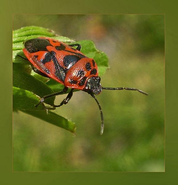 Eurydema dominulus by CarolG