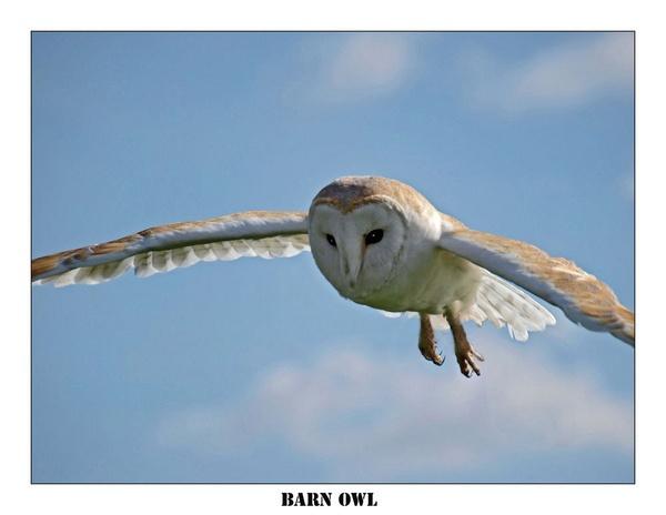 Barn Owl by BERTRAM