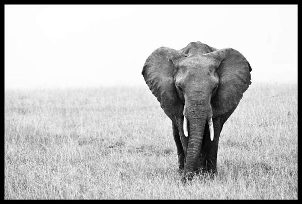 Elephant (maasi mara) by Hamish_Gill
