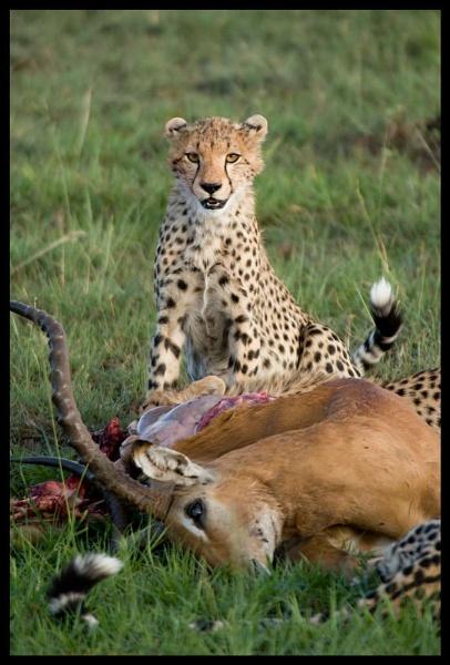 Young Cheetah with kill by Hamish_Gill