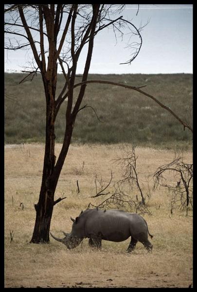Lone Rhino lake nakuru by Hamish_Gill