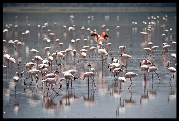 Flamingos lake Nakuru by Hamish_Gill