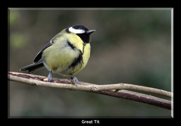 Great tit by Woodlander