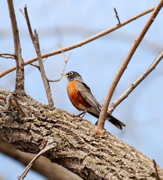 Springtime Robin by Xxticy