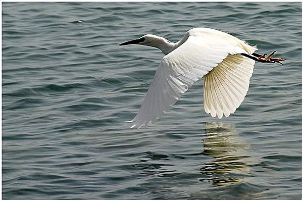 Little Egret by MikeRC