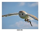 Barn Owl by BERTRAM