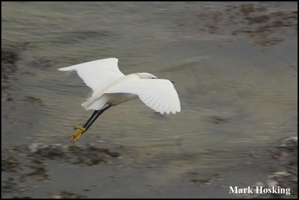 Little Egret by Hosking