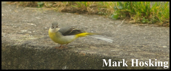 Grey Wagtail by Hosking