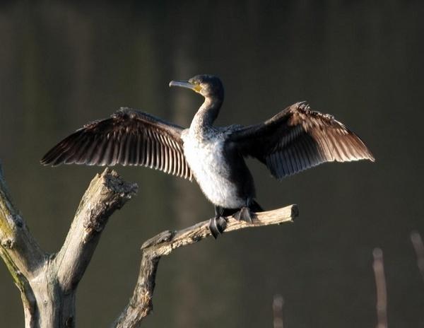 Cormorant by ukdrifter