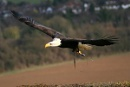 Bald Eagle in flight by steve_eb