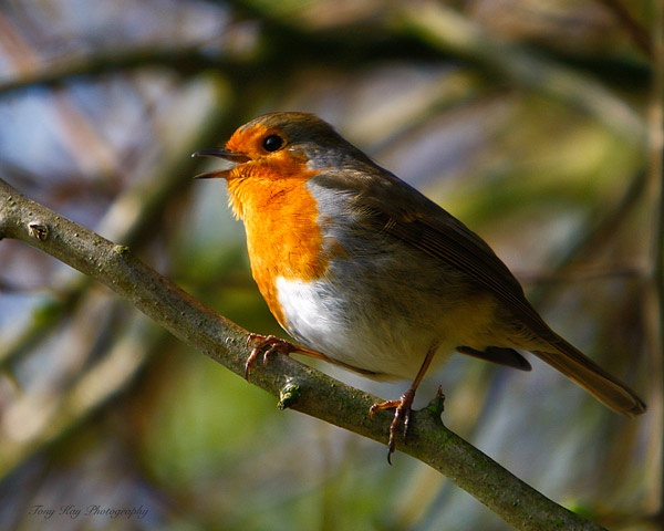 Robin by wildlife_snapper