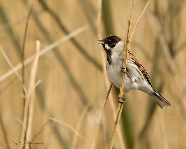Reed Bunting by wildlife_snapper