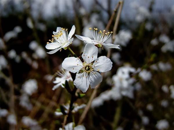 blossom by kanecompact