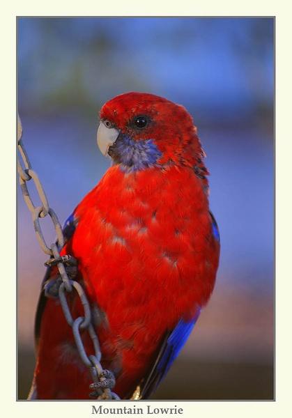 Crimson Rosella by Joeblowfromoz