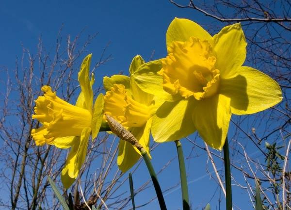 Daffodils by Paul_Walding